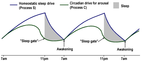 Slaaptekort - Het twee-procesmodel van Borbély